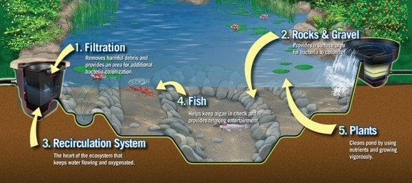 Elements of a healthy pond ecosystem