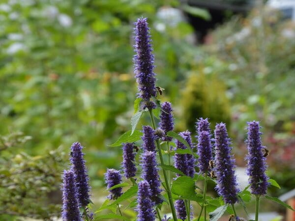Agastache as a deer resistant perennial flower