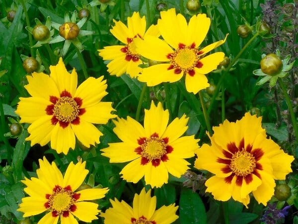 Coreopsis grow great in Colorado Springs