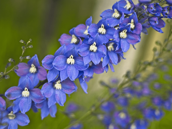 Delphinium also known as Larkspur
