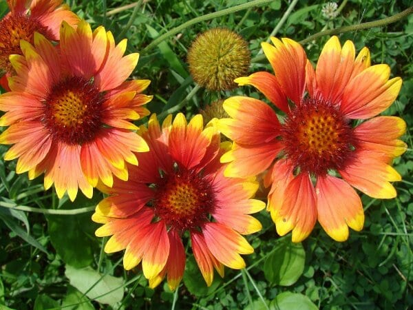 Gaillardia flowers are the colors of summer
