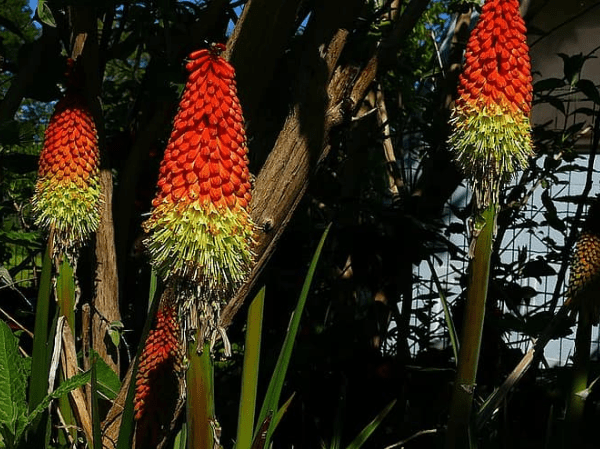 Kniphofia are beautiful flower cones